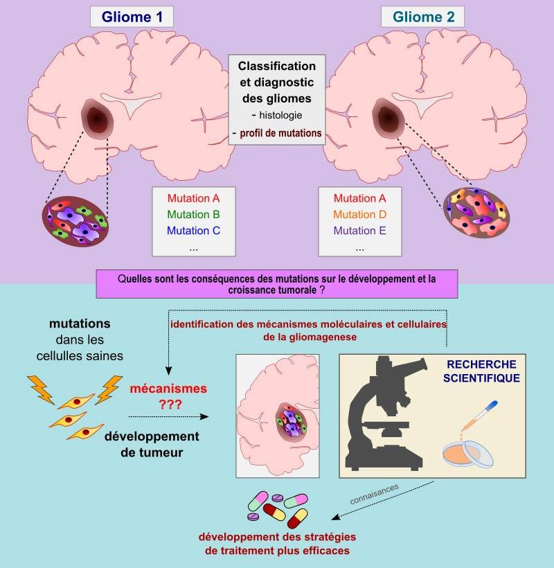 Impact fonctionnel des mutations TCF12 dans les gliomes